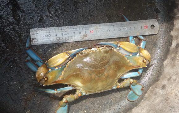 El cangrejo azul, un invasor atlántico